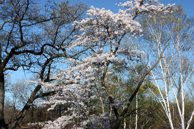 Toronto Photos :: Cherry blossom in High Park :: High Park. A blossoming cherry tree