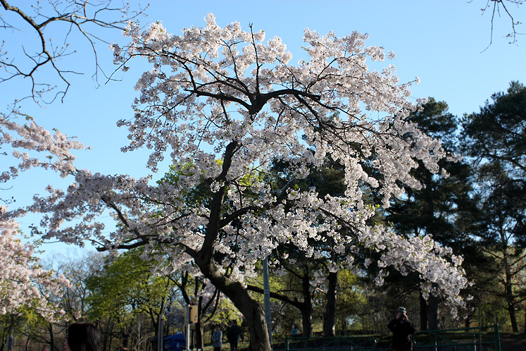 Toronto Photos :: Cherry blossom in High Park :: High Park. Cherry blossom - a white cloud