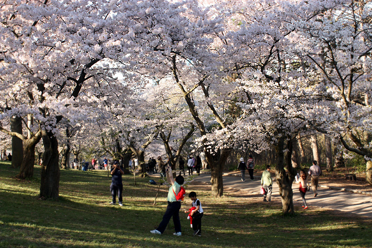 Toronto Photos :: Cherry blossom in High Park :: High Park. Cherry blossom attracts many torontonians