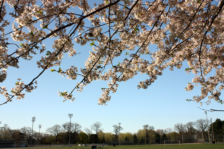 Toronto Photos :: Cherry blossom in High Park :: High Park - a cherry tree overlooking the soccer field