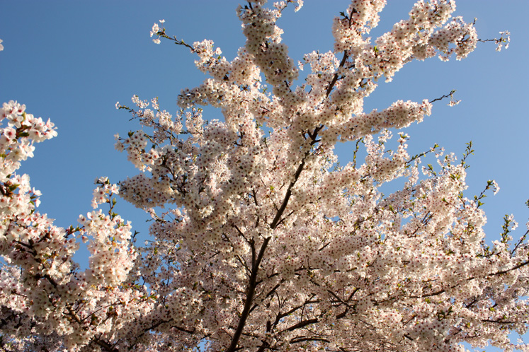 Toronto Photos :: Cherry blossom in High Park :: High Park - gentle flowers of cherry tree