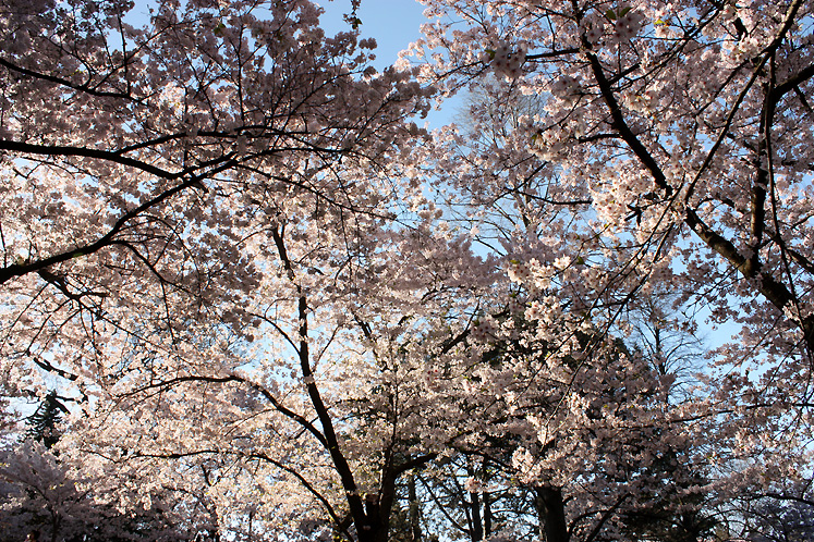 Toronto Photos :: Cherry blossom in High Park :: Park. Cherry bloosom later in the morning