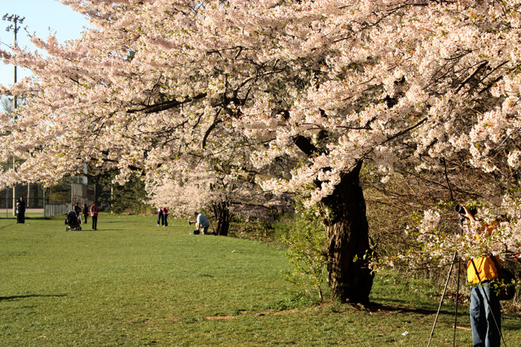 Toronto Photos :: Parks :: A photographer is taking pictures of cherry blossom in High Park