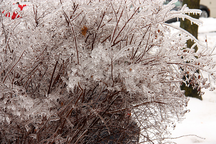 Toronto Photos :: Toronto  Misc :: A bush covered with ice