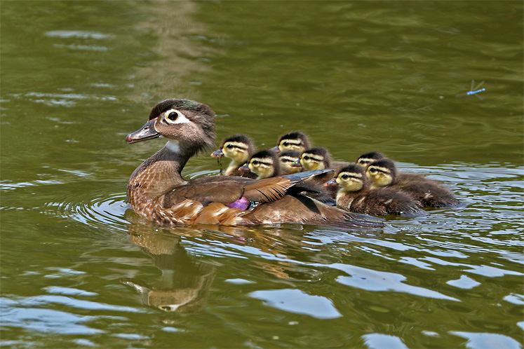 Toronto Photos :: North York :: A Wood Duck with ducklings, Toronto