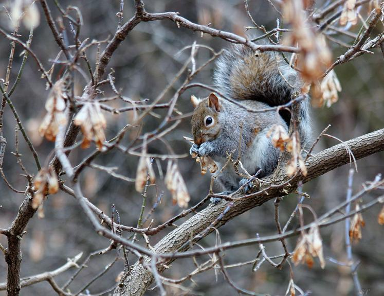 Toronto Photos :: North York :: A squirrel in one of Toronto parks sitting on a tree branch