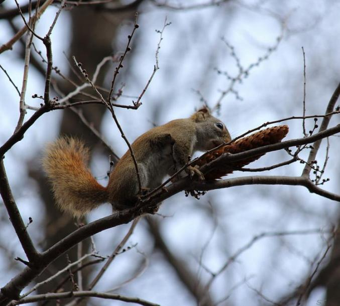 Toronto Photos :: Sergey-Tishin :: Mmm... yammy!!!!  A squirrel on a tree branch