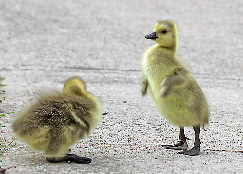 Toronto Photos :: Sergey-Tishin :: Toronto. Little goslings playing on the road