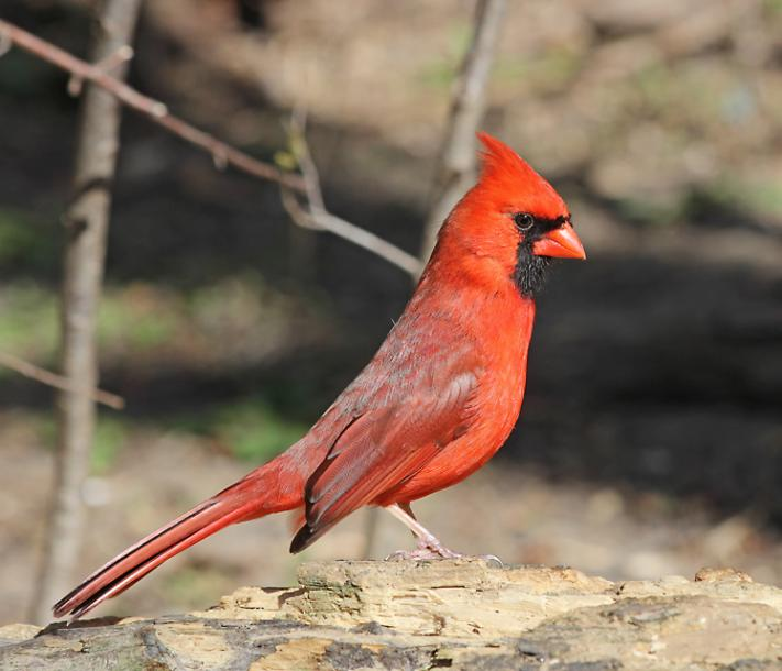 World Travel Photos :: Colors - Rouge :: Toronto. Red Cardinal