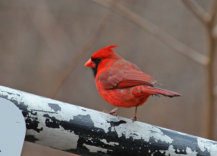 World Travel Photos :: Colors - Rouge :: Ontario. Red Cardinal