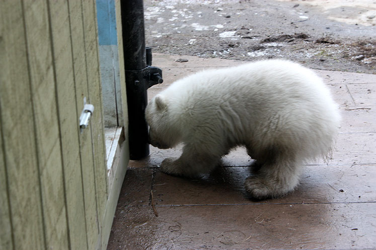 Toronto Photos :: Toronto Zoo :: A little polar bear at Toronto Zoo