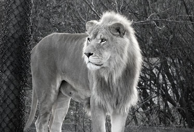 World Travel Photos :: Animals :: Toronto Zoo. A King