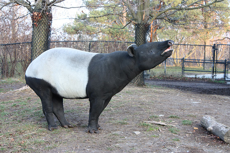 World Travel Photos :: Animals :: Toronto Zoo. Tapir
