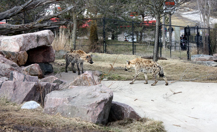 Toronto Photos :: Toronto Zoo :: Toronto Zoo. Two hyenas