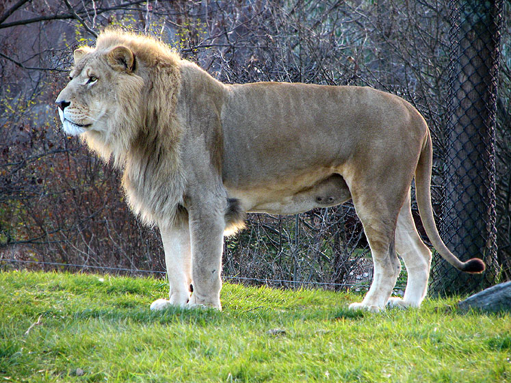 World Travel Photos :: Animals :: Toronto Zoo - a lion is alert in the late afternoon