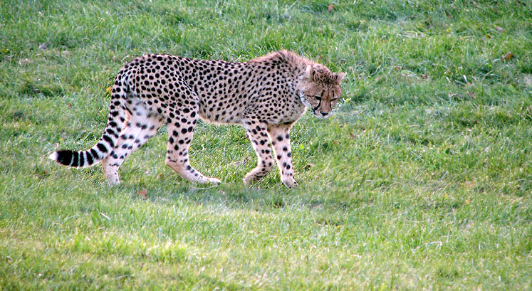 World Travel Photos :: Animals :: Toronto Zoo - cheetah