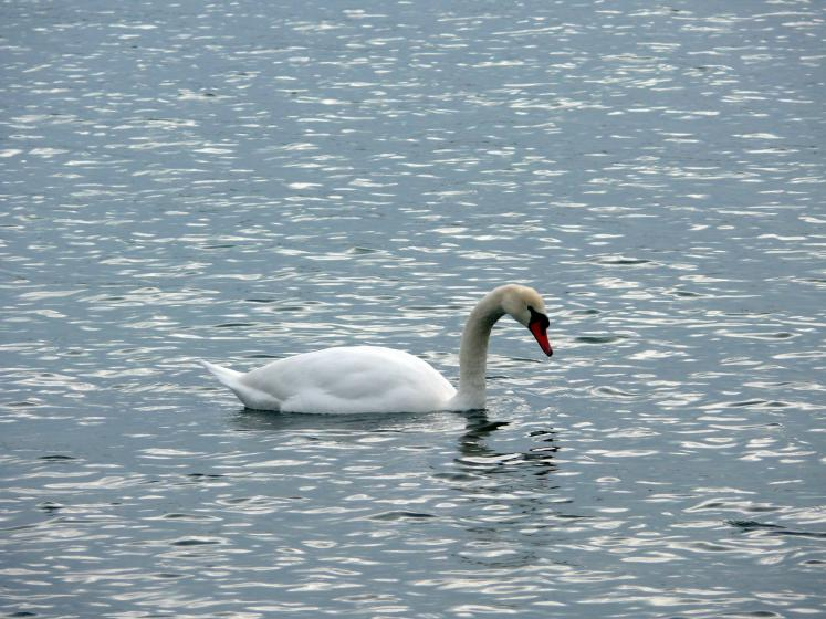 Toronto Photos :: Валентина :: A swan in Ontario Lake in Decmber
